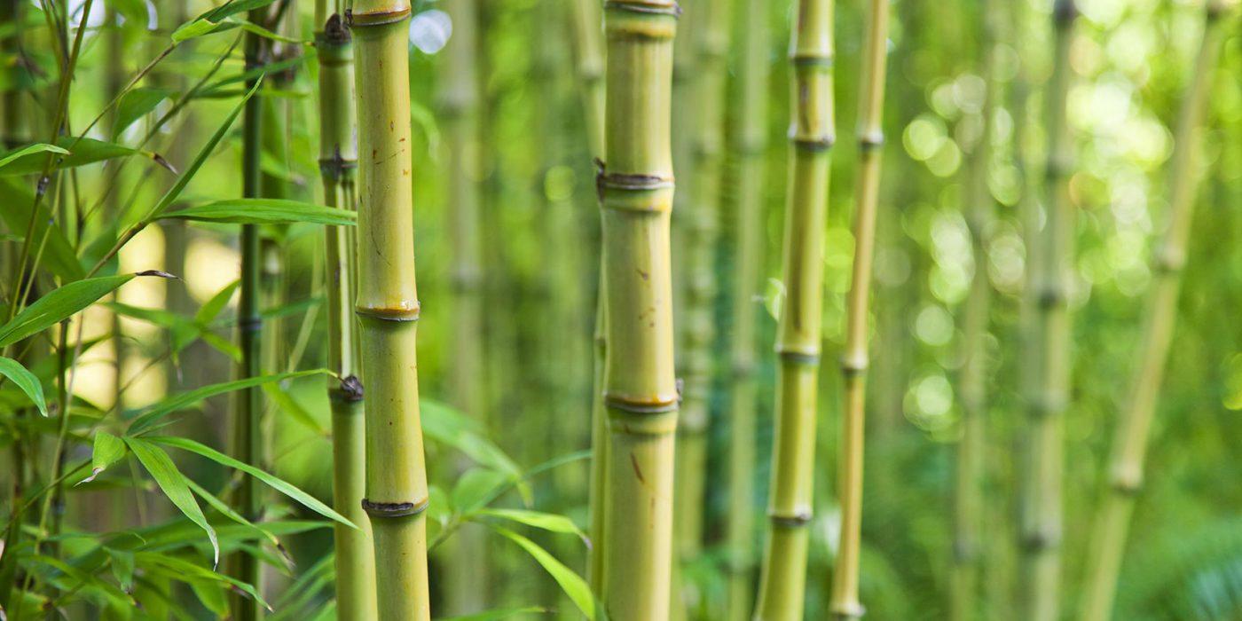 Plantation Du Bambou Dans Votre Jardin Avantages Et Conseils